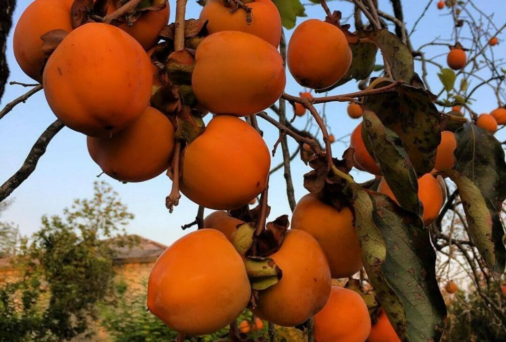 Persimmon fruit in Tirthan Valley